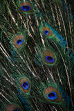 Peacock feathers. Peacock green and blue plumage in close up Royalty Free Stock Photo