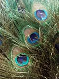 Beautiful Peacock Tail feathers Stock Images
