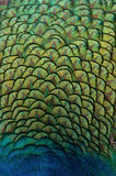 Peacock feathers. Indian peacock feathers showing patterns, texture, and vibrant yellow, blue, and green hues royalty free stock photography
