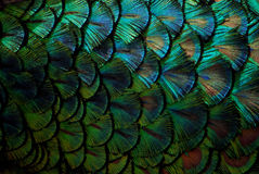 Peacock feathers in macro. Blue green Stock Image