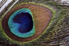 Peacock feathers macro Stock Photography
