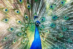Free Peacock Feathers Mating Royalty Free Stock Photos - 100087768