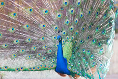Peacock with feathers open Stock Photography
