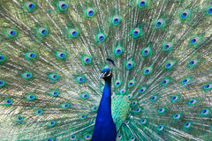 Peacock with feathers open Royalty Free Stock Image