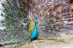 Peacock with Feathers Out. Multi colored peacock with feathers out,are looking for something Stock Image