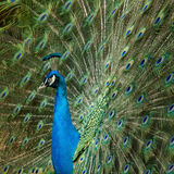 Peacock feathers out Stock Photos