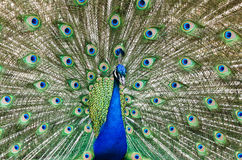 Peacock with feathers out Stock Images