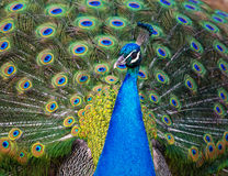Peacock with feathers out Stock Photos