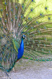 Peacock with feathers out Royalty Free Stock Image