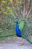 Peacock with feathers out Royalty Free Stock Images