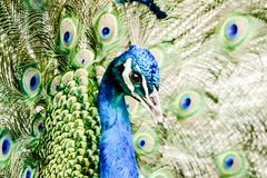 Peacock with feathers out, in Lisbon Capital City of Portugal. Peacock with feathers out, beautiful photo digital picture royalty free stock photography