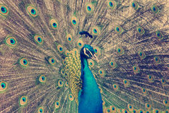 Peacock with feathers out Stock Image