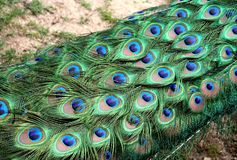 Peacock feathers pattern. Beatiful peacock spreading its coloured tail Stock Image
