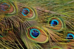 Peacock Feathers, Peacock, Bird Stock Images