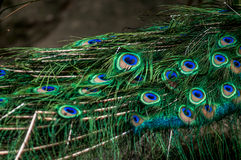 Peacock feathers... A shot of beauriful peacock feathers Royalty Free Stock Photo