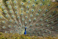 Peacock feathers Royalty Free Stock Photo