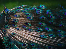 Peacock Feathers. Siting on grass, beautiful feature Royalty Free Stock Photography