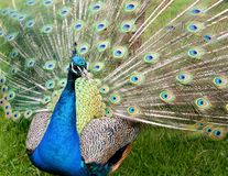Peacock with feathers spread Royalty Free Stock Images