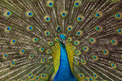 Peacock with feathers Stock Image