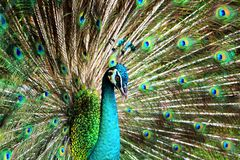 Peacock with feathers stand out Royalty Free Stock Image