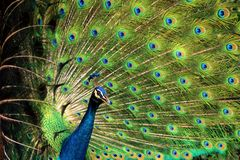 Peacock with feathers stand out Royalty Free Stock Photos