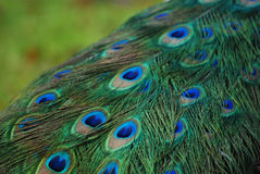 Detail of a peacock tail Stock Photos