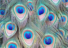 Peacock Feathers. Textural image displaying an array of colored feathers on a male Indian Peacock Royalty Free Stock Photography