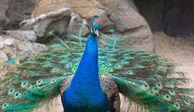 Peacock with Feathers Trailing Royalty Free Stock Images
