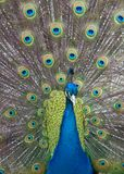 Peacock with feathers up. Front view Royalty Free Stock Image