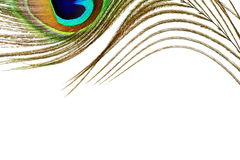 Peacock feathers in white background with text copy space. Blog art banner web design concept background royalty free illustration