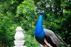 Peacock feature Stock Images