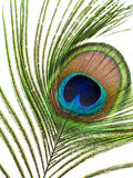 Peacock feature Royalty Free Stock Images