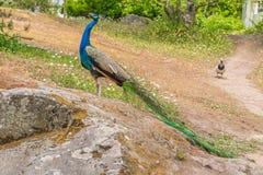 peacock Feche acima do pavão que mostra-se Pavão bonito Pavão fêmea fotos de stock