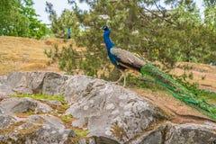 peacock Feche acima do pavão que mostra-se Pavão bonito Pavão fêmea imagem de stock