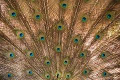 peacock Feche acima do pavão que mostra suas penas bonitas imagem de stock royalty free