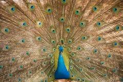 peacock Feche acima do pavão que mostra suas penas bonitas fotografia de stock
