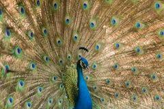 peacock Feche acima do pavão que mostra suas penas bonitas imagem de stock