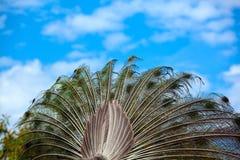 peacock Feche acima do pavão que mostra suas penas bonitas fotos de stock royalty free
