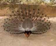 peacock Feche acima do pavão que mostra suas penas bonitas imagens de stock