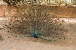 peacock Feche acima do pavão que mostra suas penas bonitas imagens de stock royalty free