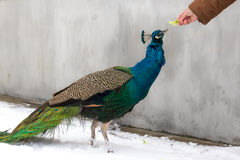 Peacock fed by human in winter. Peacock on snow fed by a man with green salat Stock Images