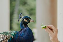 A peaceful peacock in park. A peacock feed by a hand of an old lady royalty free stock photos