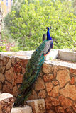 Peacock on the Fence Royalty Free Stock Images