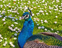 Peacock on field Stock Photos