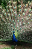 Peacock flare out Royalty Free Stock Images