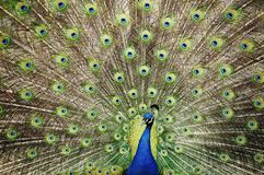Peacock flaring feathers. Peacock in splendid display of tail feathers in full flare Royalty Free Stock Photo