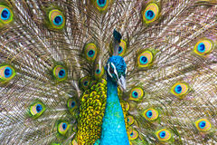 Peacock flaunting tail Stock Photography