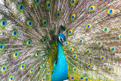 Peacock flaunting tail Royalty Free Stock Photo