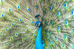 Peacock flaunting tail Royalty Free Stock Photos
