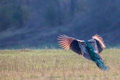 Peacock in flight Stock Images
